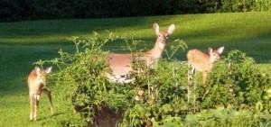 Deer urban pic.jpeg