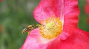 honeybee-at-a-poppy-flower