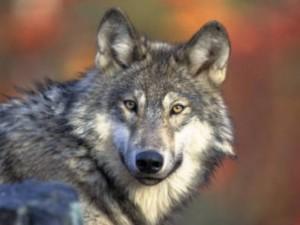 wolf pic 10-1-14.jpeg