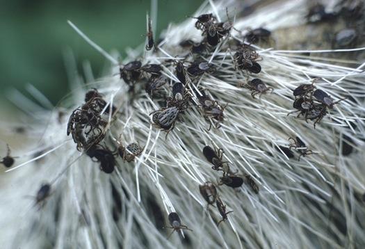 Ticks on moose