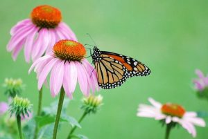 Monarch Butterfly on a Purple Coneflower.