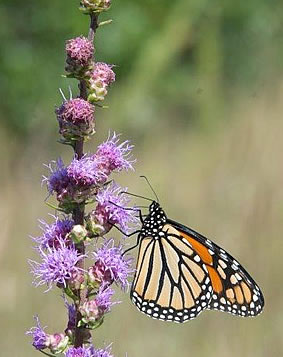 Monarch Butterfly on Shooting Star.