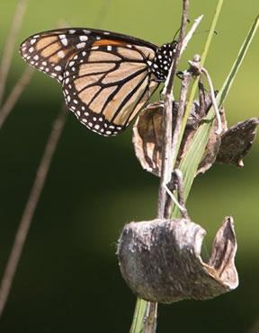 Monarch Butterfly on milkweed pod.