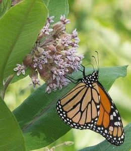 Monarch butterfly on milkweed.