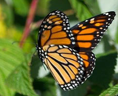 image of an adult Monarch Butterfly resting on a raspberry bush