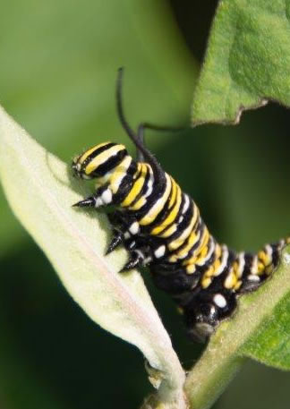 image of a Monarch Butterfly caterpillar. It has black antannae and is decorated with black, white, and yellow stripse