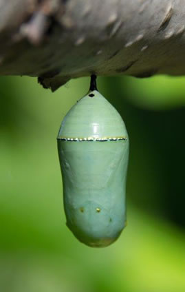 image of Monarch butterfly chrysalis - it is a beautiful pale jade green color and trimmed with metallic gold accents.