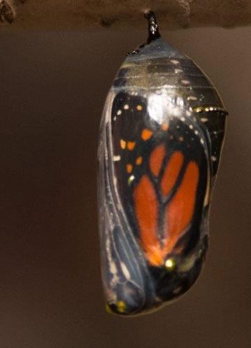 image of a Monarch butterfly chrysalis about to open. The butterfly's wings are clearly visible through the now transparant outer casing.