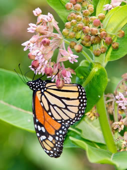 Monarch butterfly on common milkweed plant (Photo credit: Edward K. Boggess)